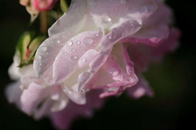 朝のバラ_e0169421_21483092.jpg