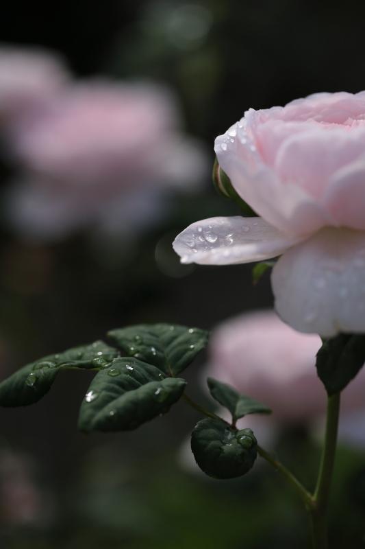 朝のバラ_e0169421_21483193.jpg