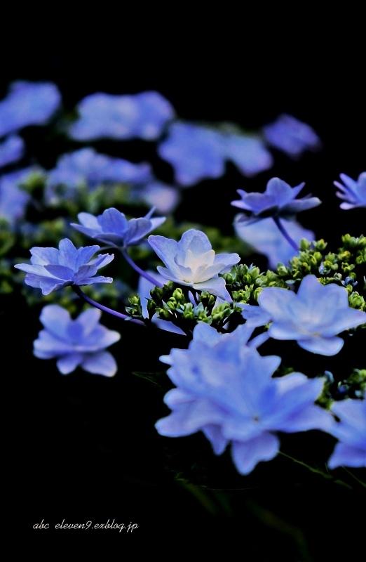 紫陽花季 つづき_f0315034_12422135.jpg