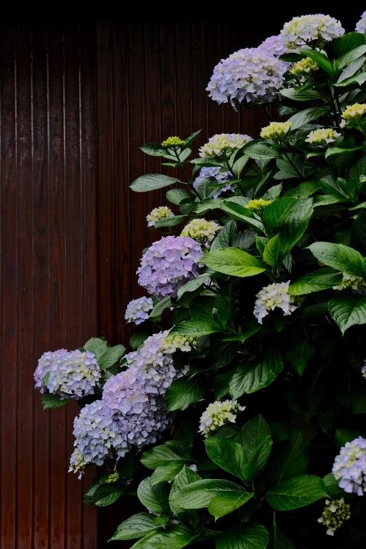 紫陽花季 つづき_f0315034_12423726.jpg