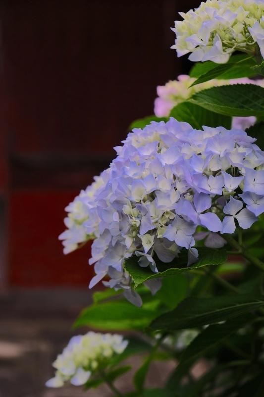 紫陽花季 つづき_f0315034_12425411.jpg