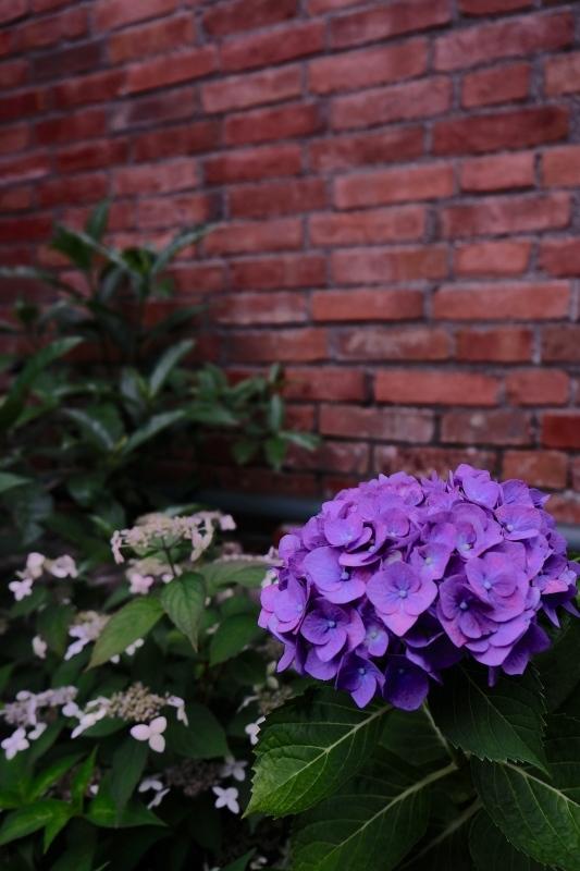 紫陽花季 つづき_f0315034_12430769.jpg
