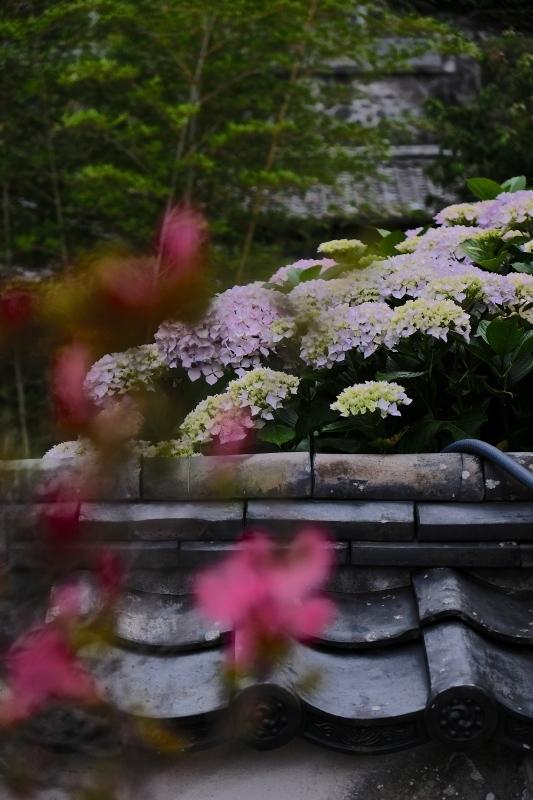 紫陽花季 つづき_f0315034_12434020.jpg