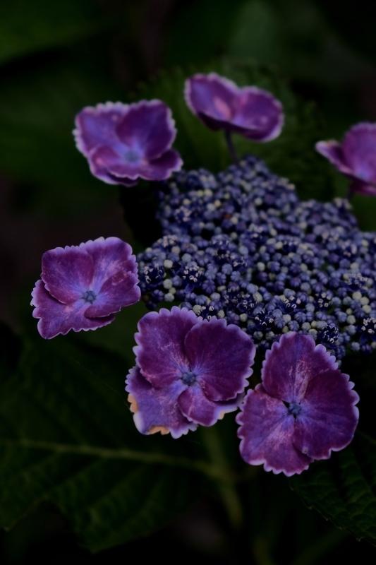 紫陽花季 つづき_f0315034_12445113.jpg