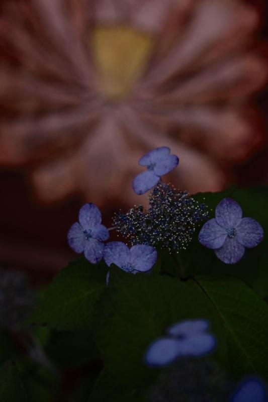 紫陽花季 つづき_f0315034_12450642.jpg