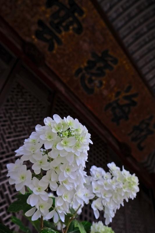 紫陽花季 つづき_f0315034_12452380.jpg