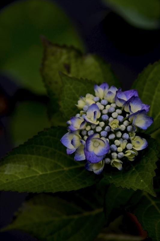 紫陽花季 つづき_f0315034_12462691.jpg