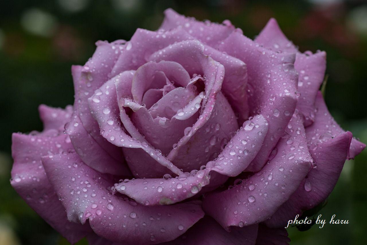 雨の日の薔薇園_f0297537_13220941.jpg