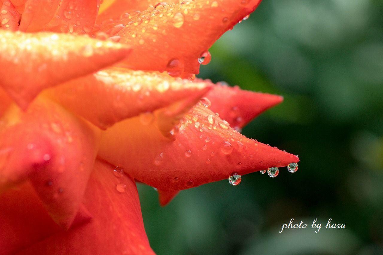 雨の日の薔薇園_f0297537_13221463.jpg