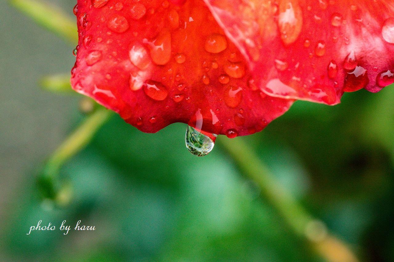 雨の日の薔薇園_f0297537_13221975.jpg