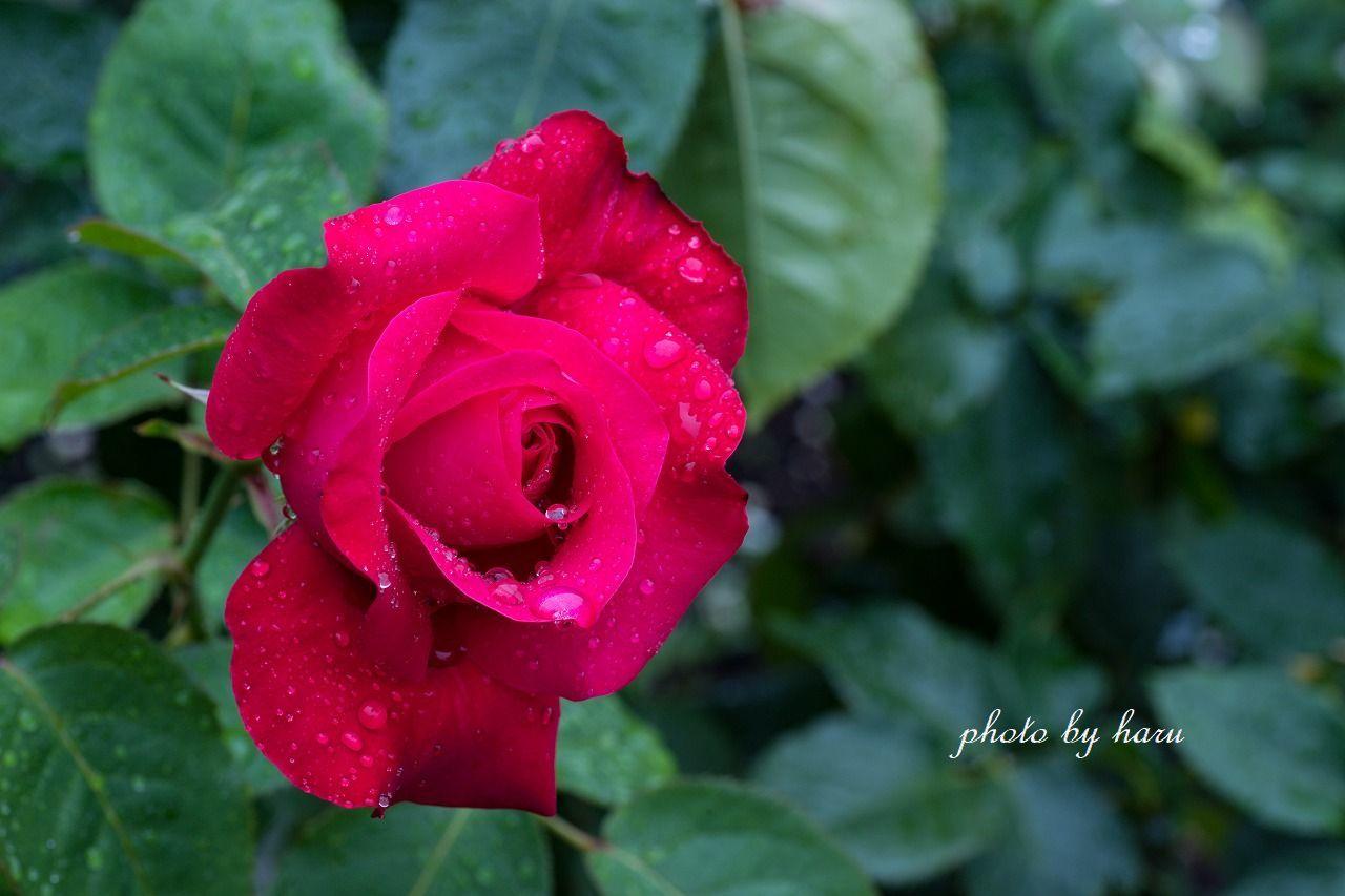 雨の日の薔薇園_f0297537_13222957.jpg
