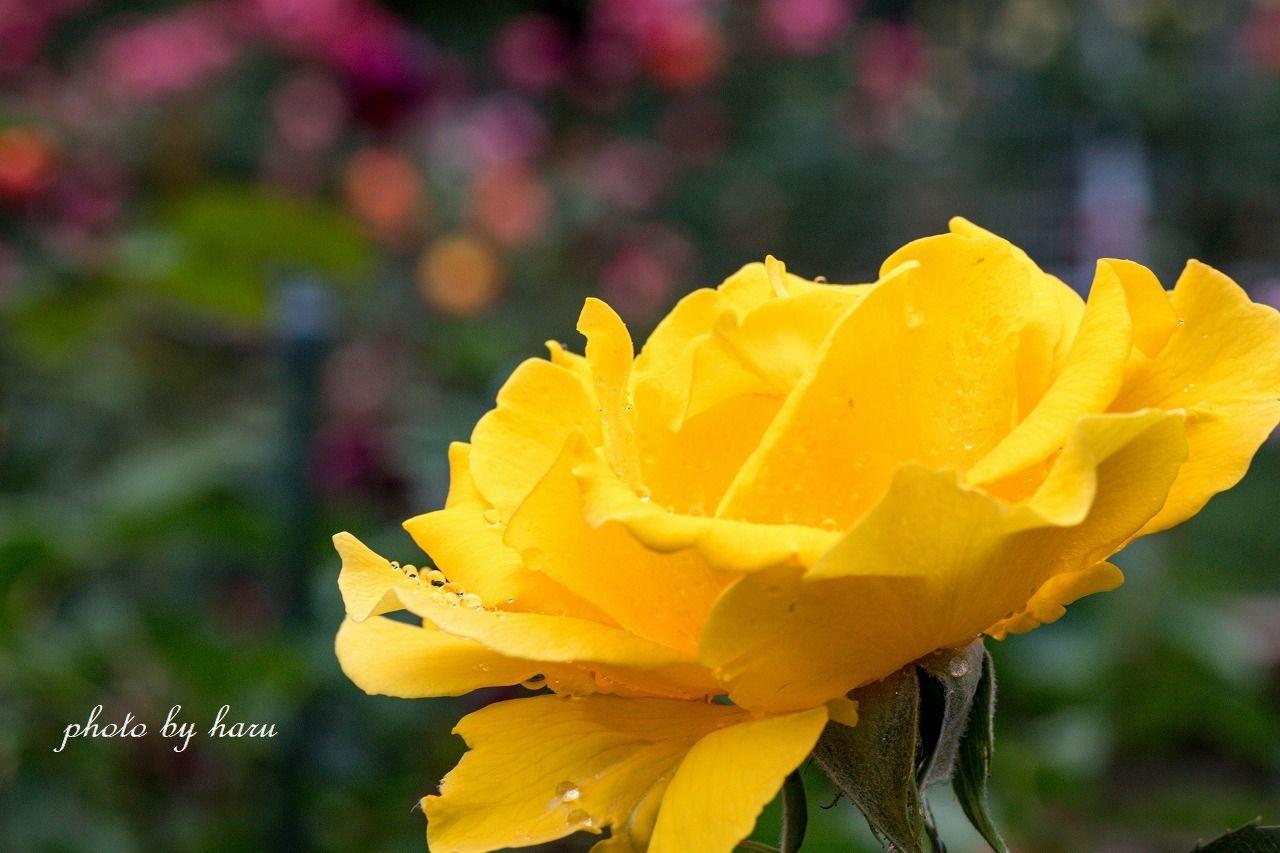 雨の日の薔薇園_f0297537_13223680.jpg