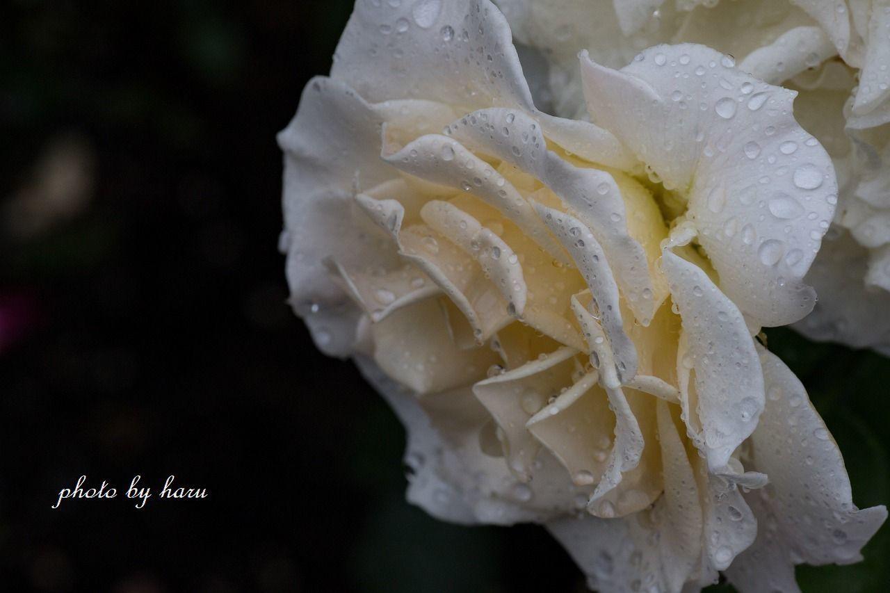 雨の日の薔薇園_f0297537_13224009.jpg