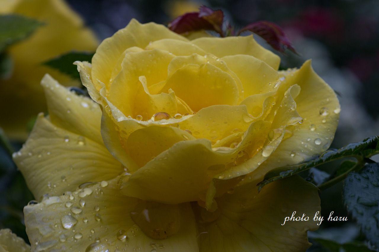 雨の日の薔薇園_f0297537_13224967.jpg