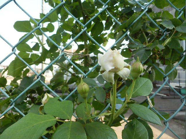我が家にも薔薇が。_e0378686_18534551.jpg