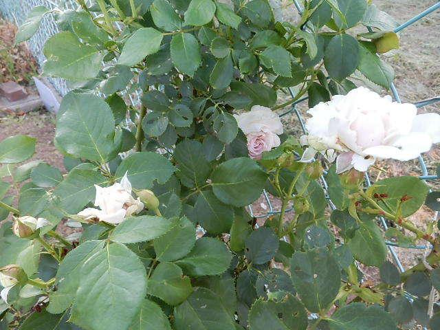 我が家にも薔薇が。_e0378686_18574566.jpg