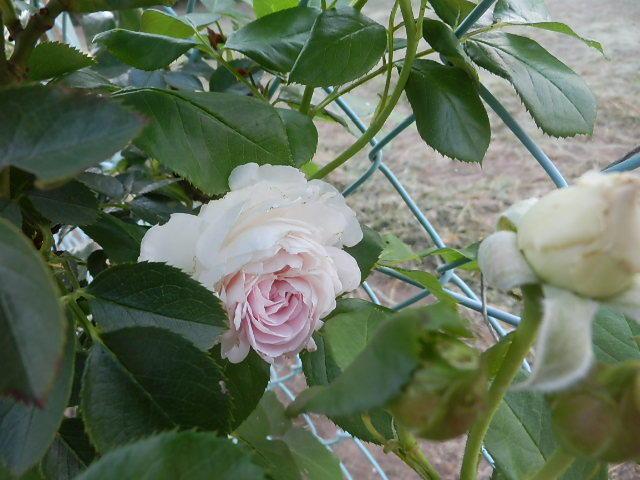 我が家にも薔薇が。_e0378686_19011320.jpg