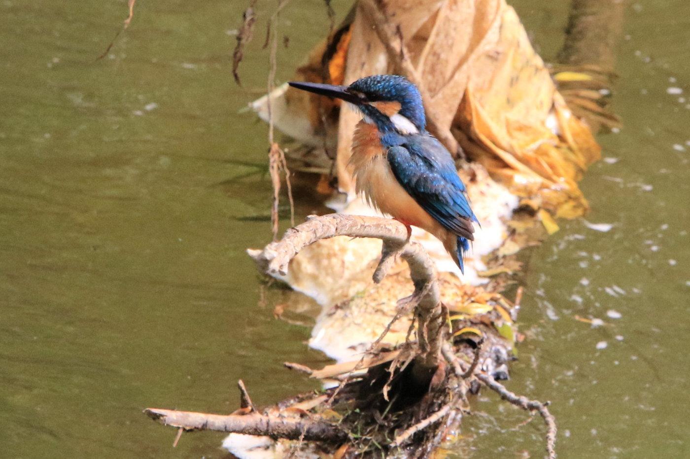 カワセミ 地元の川で_c0360399_21042115.jpg