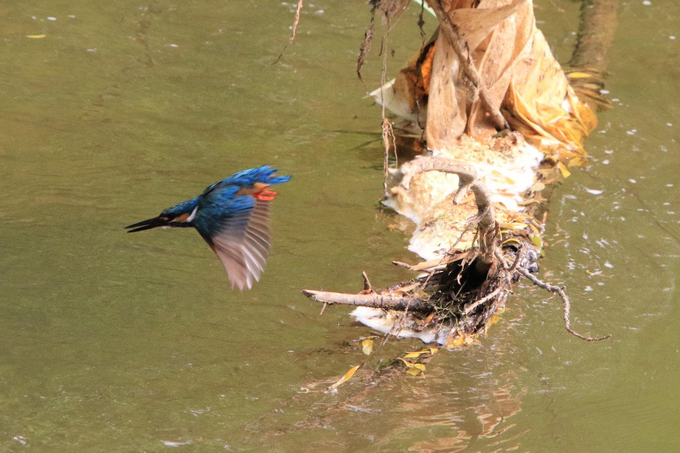 カワセミ 地元の川で_c0360399_21051151.jpg