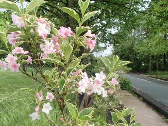 朝散歩コースの花たち_f0064906_12155309.jpg