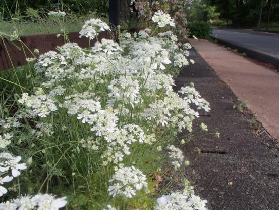 朝散歩コースの花たち_f0064906_12155737.jpg