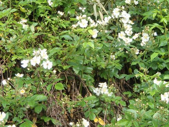 朝散歩コースの花たち_f0064906_12160256.jpg
