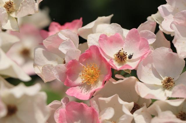 松阪ベルファーム庭園を散策(その4)(撮影:6月1日)_e0321325_13582498.jpg