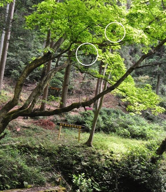 2019年6月4日 トライアルウイーク&山椒摘み_d0053832_11202900.jpg