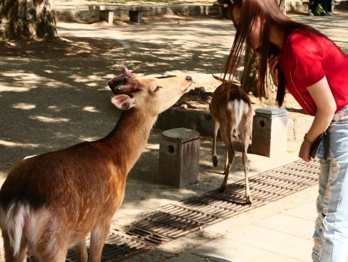 天然記念物 奈良の鹿  2019-06-11 00:00   _b0093754_20003570.jpg