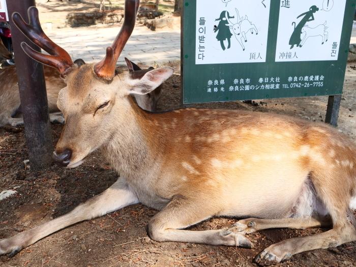 天然記念物 奈良の鹿  2019-06-11 00:00   _b0093754_20004964.jpg