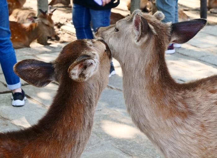 天然記念物 奈良の鹿  2019-06-11 00:00   _b0093754_20011230.jpg
