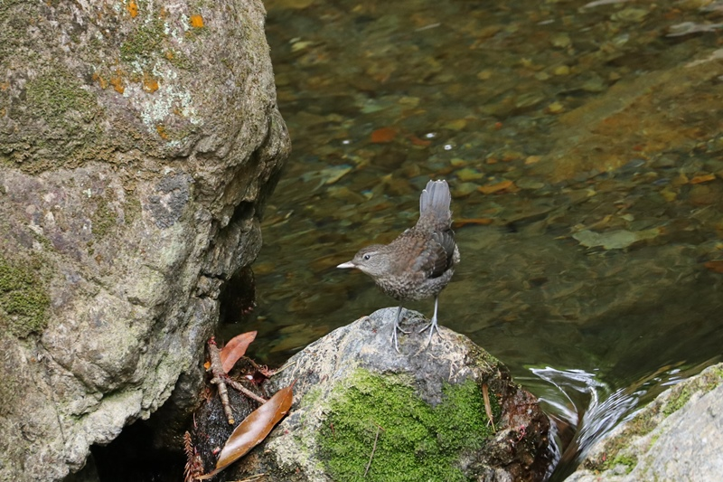 カワガラスの幼鳥の岩登り♪_a0167759_0365584.jpg