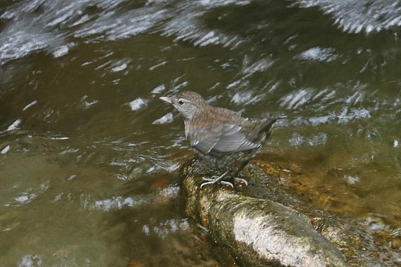 カワガラスの幼鳥の岩登り♪_a0167759_0402294.jpg