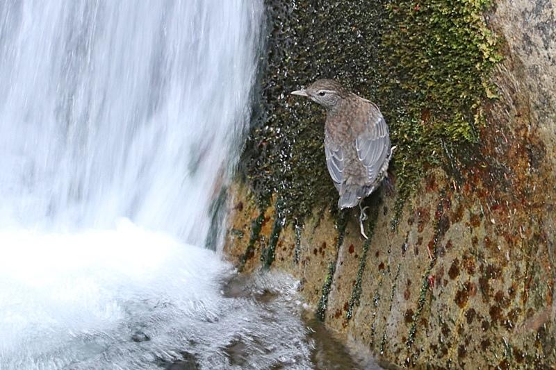 カワガラスの幼鳥の岩登り♪_a0167759_0411378.jpg
