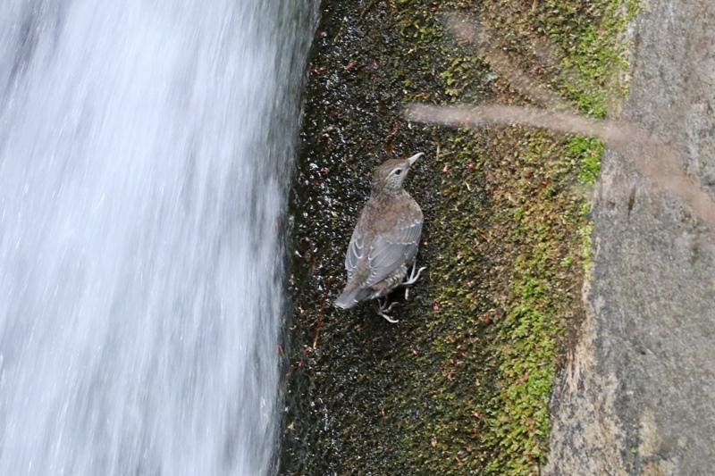 カワガラスの幼鳥の岩登り♪_a0167759_0412240.jpg