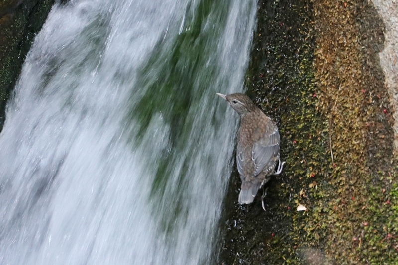 カワガラスの幼鳥の岩登り♪_a0167759_0413936.jpg
