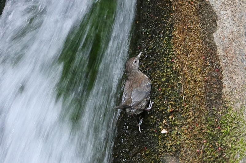 カワガラスの幼鳥の岩登り♪_a0167759_0424169.jpg
