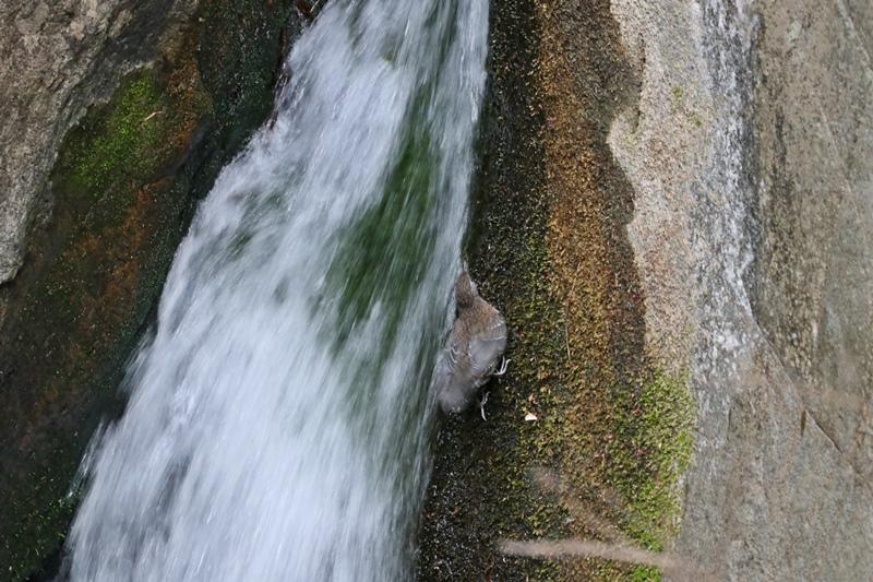 カワガラスの幼鳥の岩登り♪_a0167759_0425657.jpg