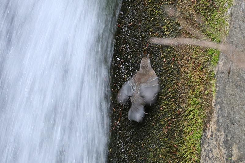 カワガラスの幼鳥の岩登り♪_a0167759_042948.jpg