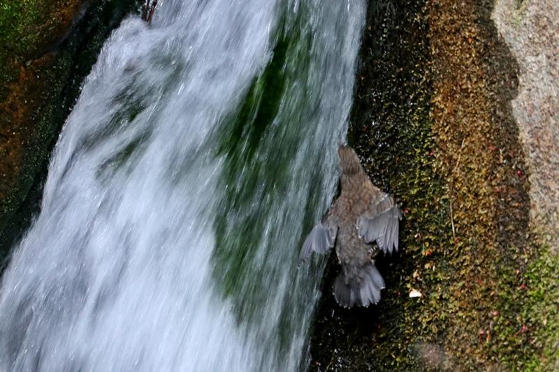 カワガラスの幼鳥の岩登り♪_a0167759_043143.jpg