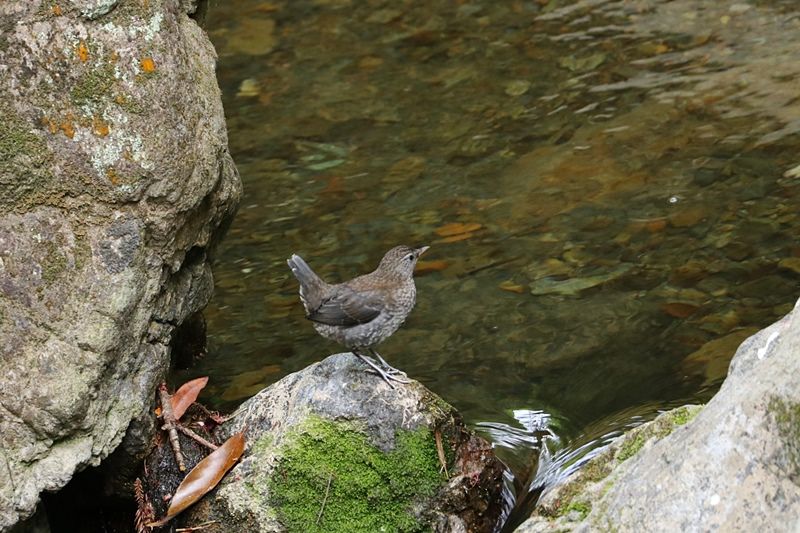 カワガラスの幼鳥の岩登り♪_a0167759_0434411.jpg