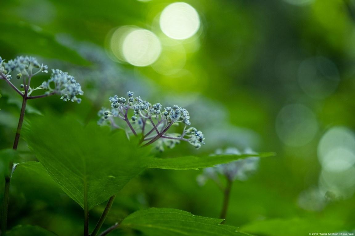 コアジサイの咲く里_c0350572_23150446.jpg