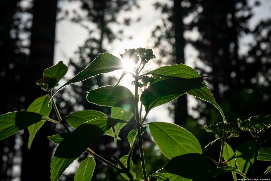 コアジサイの咲く里_c0350572_23191431.jpg