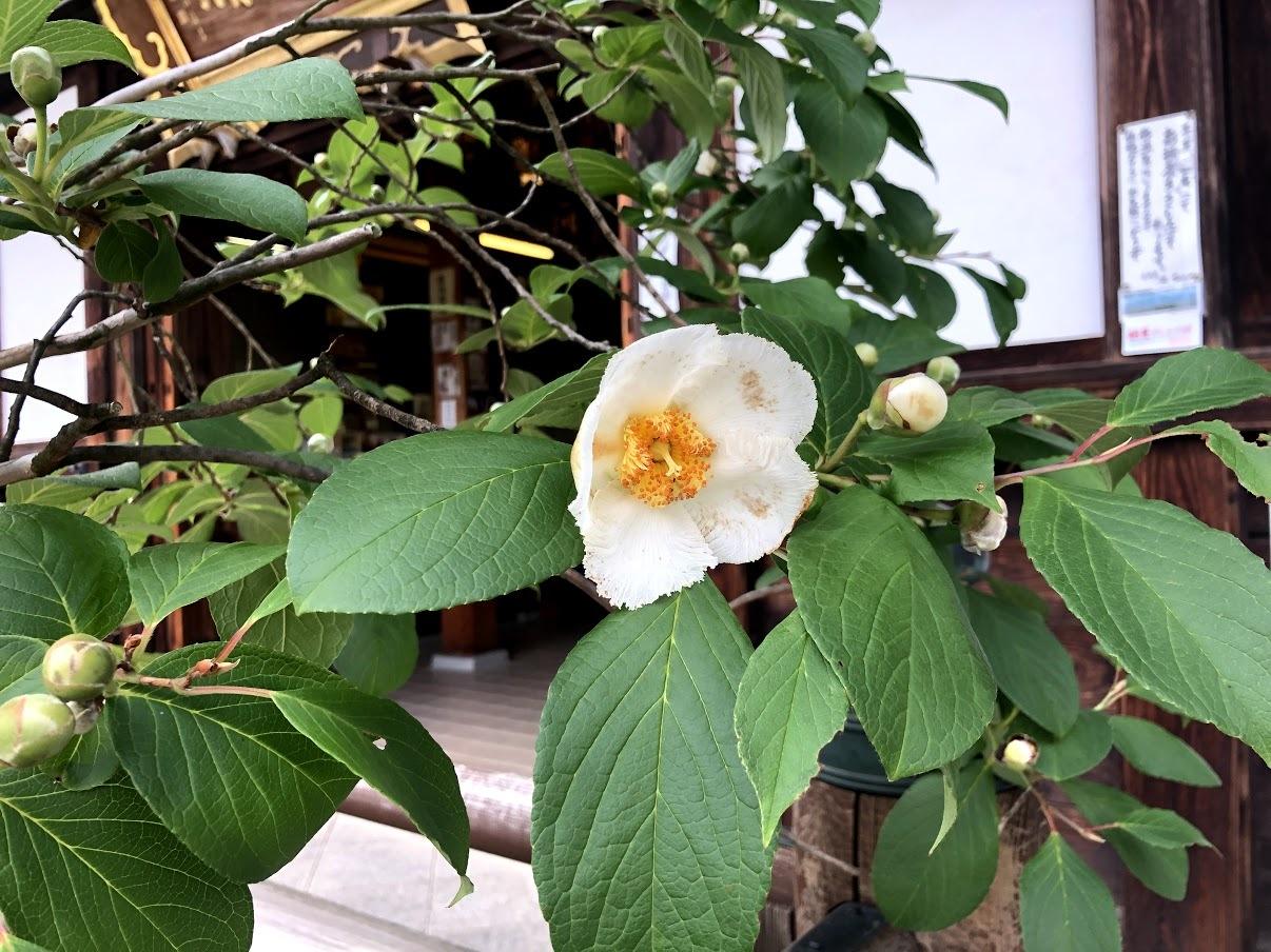 沙羅の花が開花しました_b0140774_21391717.jpg