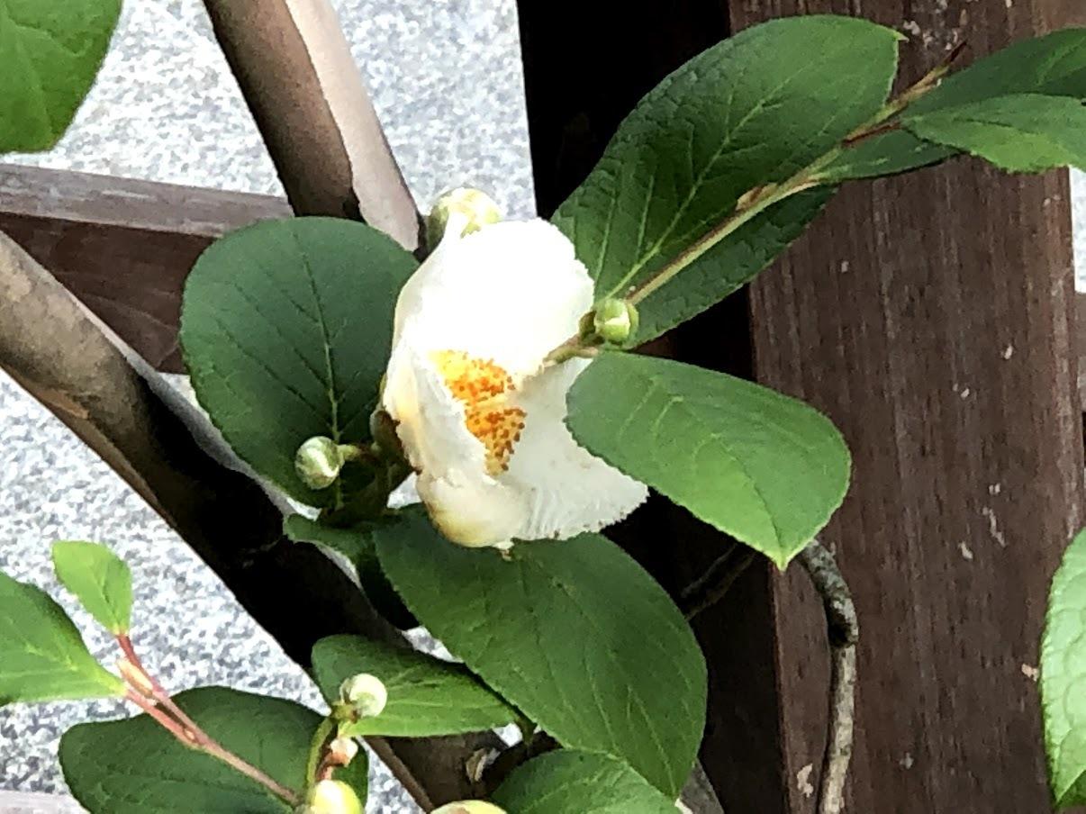 沙羅の花が開花しました_b0140774_21393643.jpg