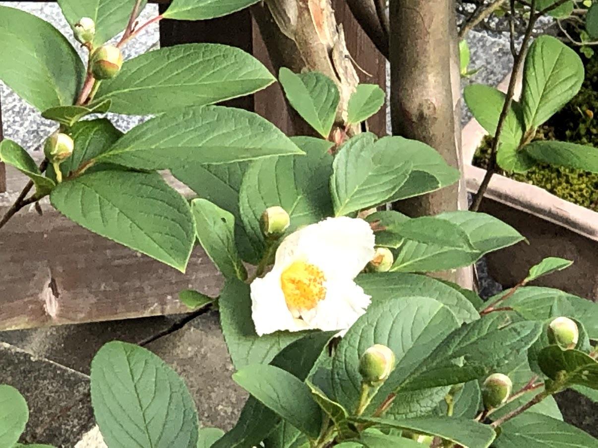 沙羅の花が開花しました_b0140774_21395854.jpg