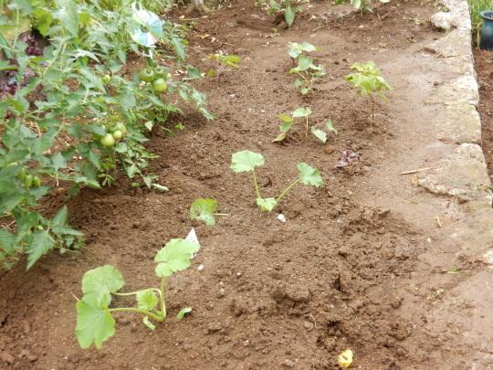 '19,6,9(日)お蕎麦とズッキーニとサツマイモ植え!_f0060461_11430374.jpg