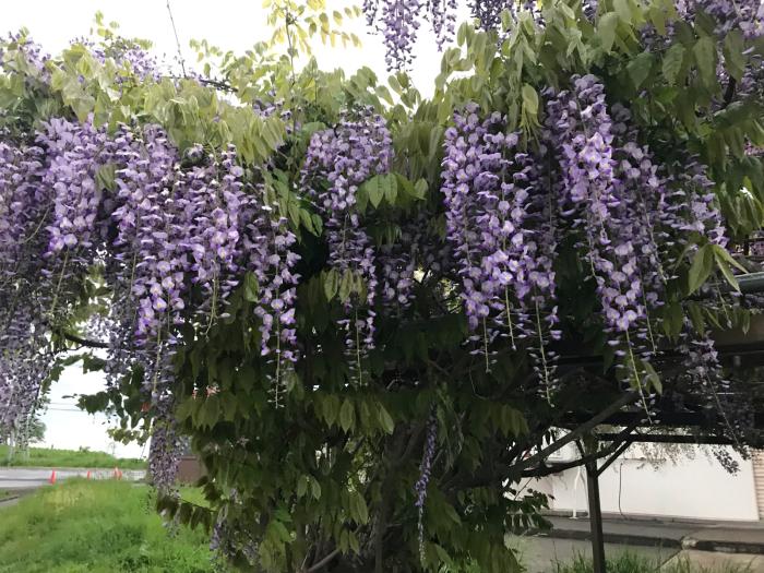 藤の花(油絵)_e0233674_08114094.jpg