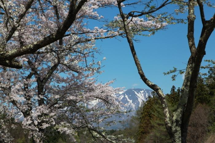雫石町 七ツ田の弘法桜 ラスト_e0165983_09552688.jpg