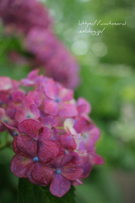 紫陽花をあじわう_b0324291_15113566.jpg